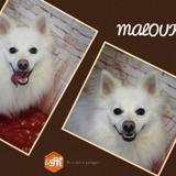 Malouk, Chien spitz à adopter
