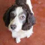 Cepe paa19613, Chien springer à adopter