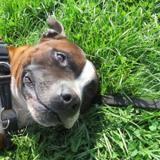I'crok (réservé), Chien staffordshire bull terrier à adopter