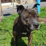 Tyson, Chien staffordshire bull terrier à adopter
