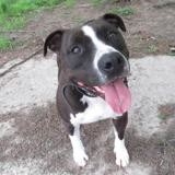 Lebron, Chien staffordshire bull terrier à adopter