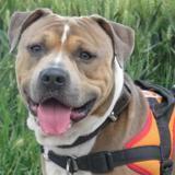 Django, Chien staffordshire bull terrier à adopter