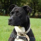 Masta, Chien staffordshire bull terrier à adopter