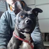 Lexie, Chien staffordshire bull terrier à adopter