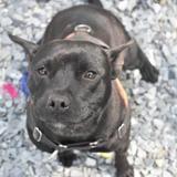 Naya paa18445, Chien staffordshire bull terrier à adopter