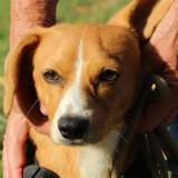 Daffy oaa17911, Chiot teckel à adopter