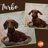Turbo (réservé), Chien teckel à adopter
