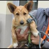 Snoopy, Chiot teckel à adopter