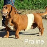 Praline, Chien teckel croisé à adopter