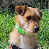 Hayes, Chiot terrier à adopter