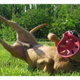Rocco vaa20283, Chien terrier à adopter