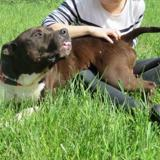 Hyson vaa20682, Chien terrier à adopter