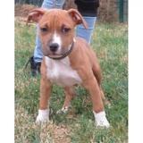Alekganik vaa21723, Chiot terrier à adopter