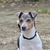 Leite chao10861, Chien terrier à adopter