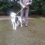 Babette vaa22788, Chiot terrier à adopter