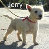 Jerry, Chien west highland white terrier à adopter