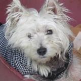 Diabolo, Chien west highland white terrier à adopter