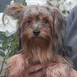 Yohji chao7216, Chiot yorkshire terrier à adopter
