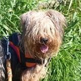 Bify, Chien yorkshire terrier à adopter