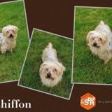 Chiffon (réservé), Chien yorkshire terrier à adopter