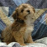 Teepee, Chiot yorkshire terrier à adopter