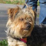 Halloween, Chien yorkshire terrier à adopter