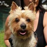 Elliot oaa18326, Chien yorkshire terrier à adopter