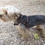 Snoopy, Chien yorkshire terrier à adopter