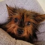 Jelly, Chien yorkshire terrier à adopter