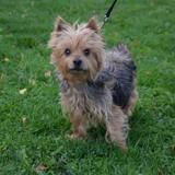 Zeytin, Chien yorkshire terrier à adopter