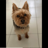 Tina, Chien yorkshire terrier à adopter