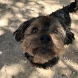 Gaspard, Chien yorkshire terrier à adopter