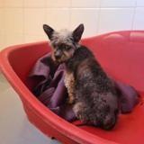 Chouquette, Chien yorkshire terrier à adopter