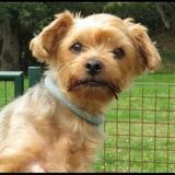 Lola, Chien yorkshire terrier à adopter