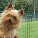 Kiwi, Chien yorkshire terrier à adopter