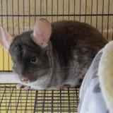 Pompom, Animal chinchilla à adopter