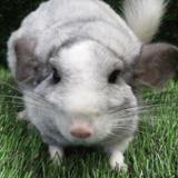 Joy, Animal chinchilla à adopter