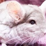 Edgard, Animal chinchilla à adopter