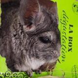 Lulu, Animal chinchilla à adopter