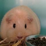Stella, Animal cochon d'inde à adopter