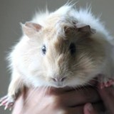 Obelix, Animal cochon d'inde à adopter