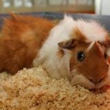 Cuzco ad603, Animal cochon d'inde à adopter