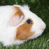 Wesh, Animal cochon d'inde à adopter