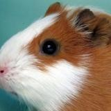 Cerseï, Animal cochon d'inde à adopter