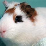 Jaime, Animal cochon d'inde à adopter