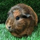 Amandine, Animal cochon d'inde à adopter