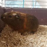 Rio, Animal cochon d'inde à adopter
