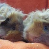 Arendt, Animal cochon d'inde à adopter