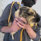 Bidulle, Animal cochon d'inde à adopter