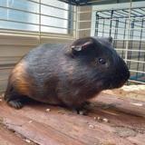 Yunnan, Animal cochon d'inde à adopter
